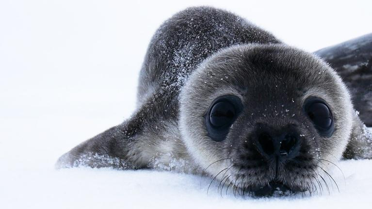 NOVA: How Antarctica's Cutest Baby Seals Grow Up