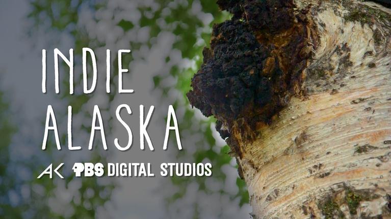 Indie Alaska: We are Chaga Harvesters