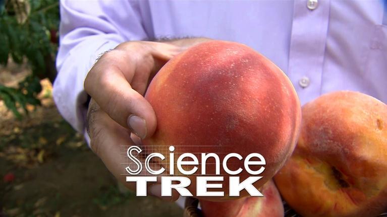 Science Trek: Trees: Growing A Better Peach