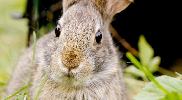 Nature: Remarkable Rabbits - Preview