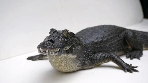 Rare -- Creature Clip: Yacare Caiman