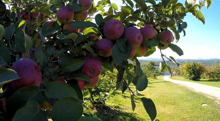 Assignment: Maine: Apple Harvest at Ricker Hill