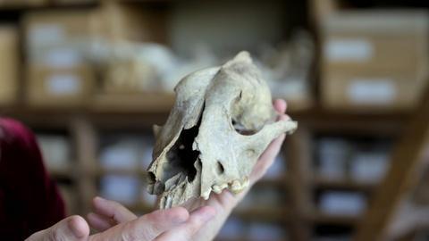 NOVA -- Can Bones Reveal How Dogs Evolved from Wolves?