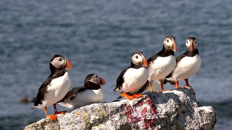 PBS NewsHour: As Maine's waters warm, vulnerable puffins face new threat
