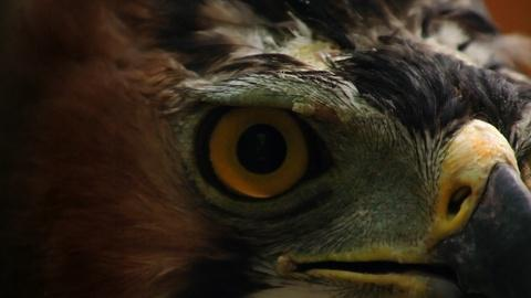 NOVA -- How Sharp are an Eagle's Eyes?