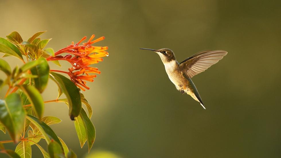 NATURE: Super Hummingbirds  image