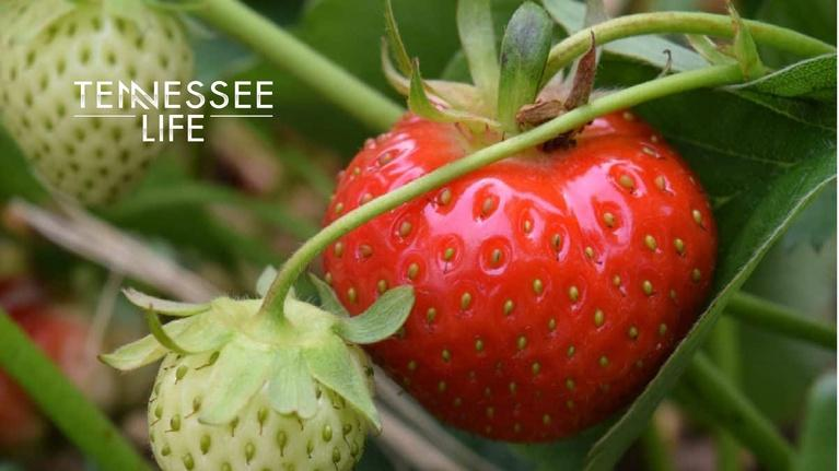 Tennessee Life: Tennessee Life - 602 - Strawberries, Herbs & Appalachian Coo