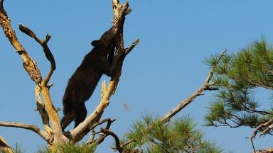 Sly Bear Steals From Woodpecker's Acorn Stash