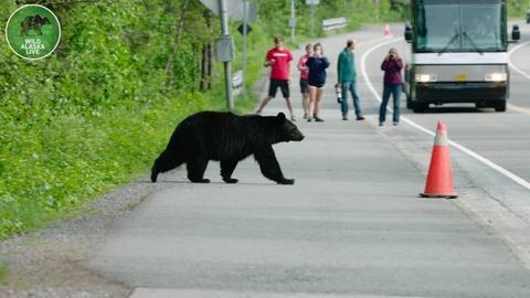 Wild Alaska Live -- Bears Using a Bear Crossing