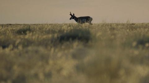Tending Nature -- Tribe Responds to Baby Antelope Deaths and Ecosystem Changes