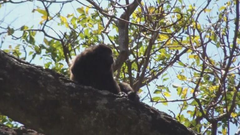 Bird Tales: Ometepe's Howler Monkeys