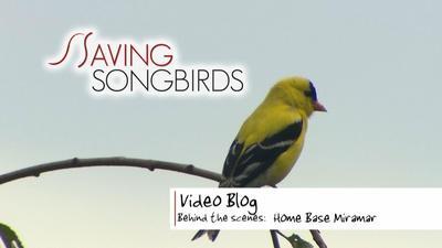 Saving Songbirds | Saving Songbirds | Home Base Miramar