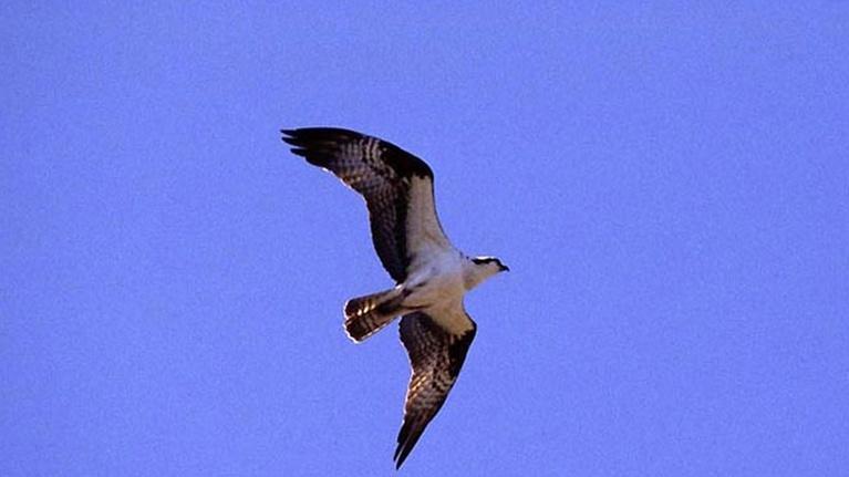 Wildlife Journal Junior: Project Osprey