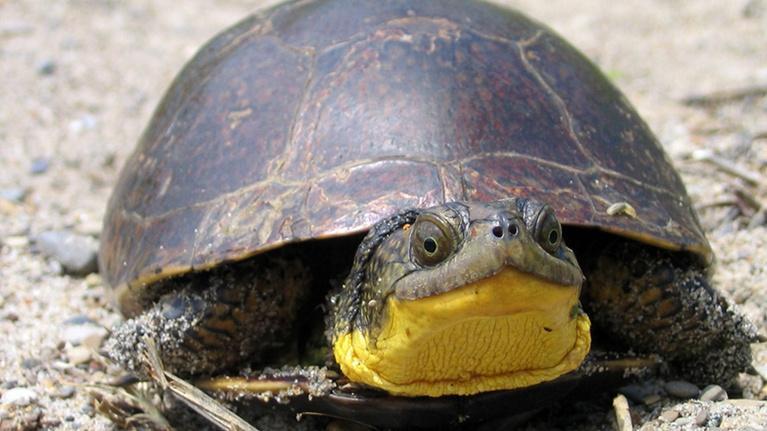Wildlife Journal Junior: Tracking Blanding's Turtle