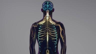 The Human Body's Nervous System