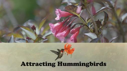 Let's Grow Stuff : Attracting Hummingbirds