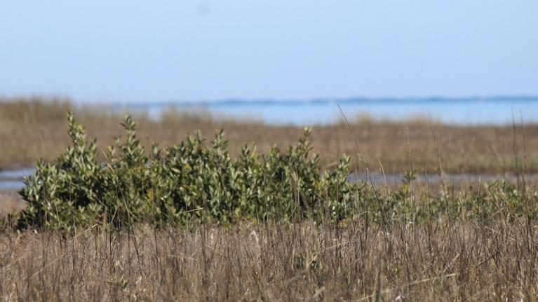 In the Grass, On the Reef: Mangroves in the Cold