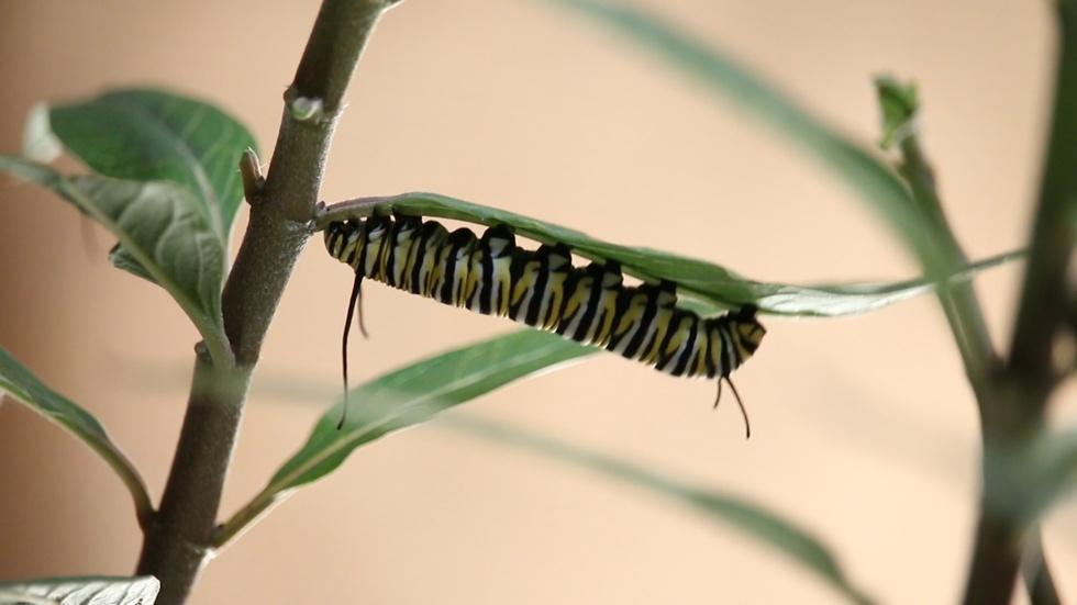 Monarch Life Cycle | From Caterpillar to Butterfly image
