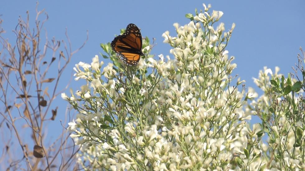 Monarch Tagging at St. Marks Wildlife Refuge image