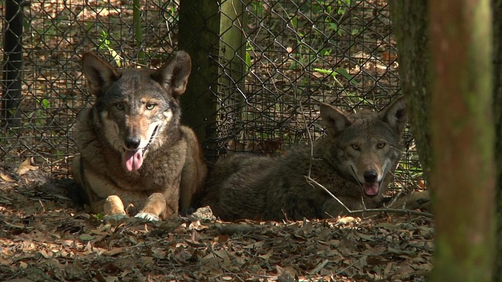 The Red Wolves of the Tallahassee Museum image