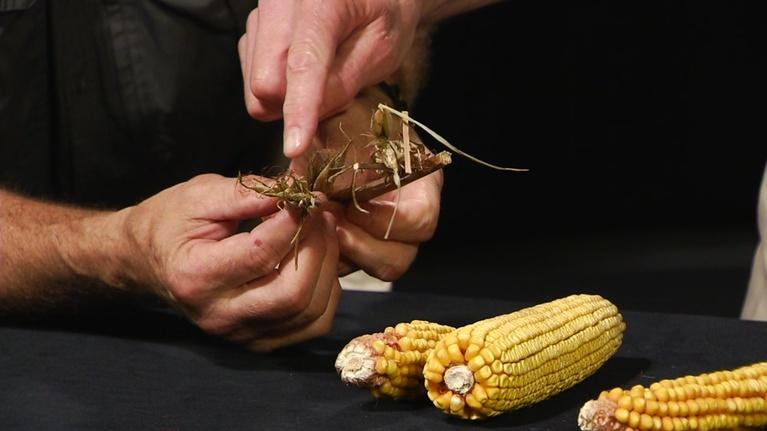Indiana Expeditions: The History of Corn