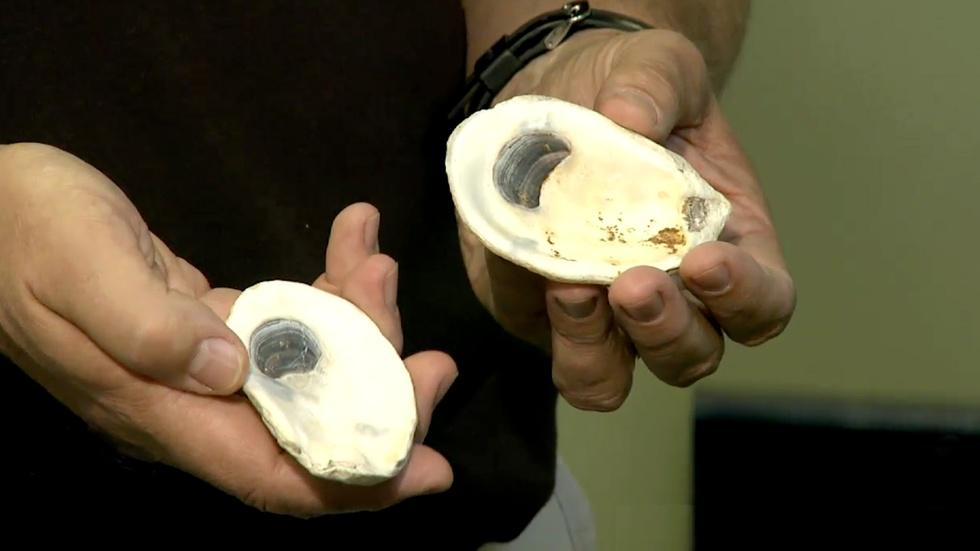 Raising disease-resistant oysters image