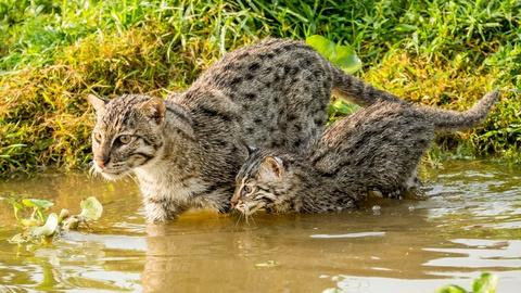 Nature -- Fishing Kittens See Water For the First Time