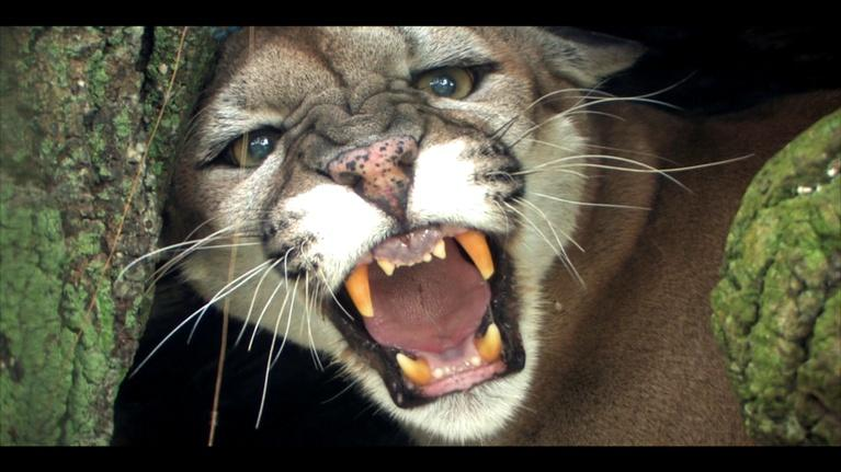 WLRN Nature: Big Cypress National Preserve:  Panthers