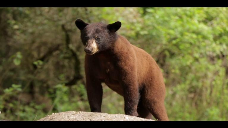 WLRN Nature: Big Cypress National Preserve: Black Bears