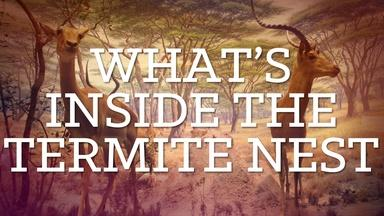 What's Inside The Termite Nest?