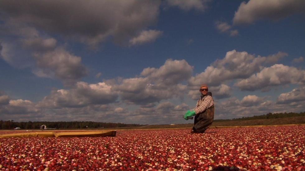 Cranberries Plentiful in New Jersey image