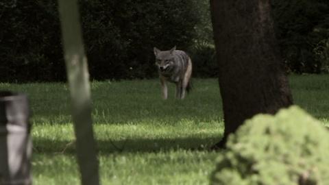 MetroFocus -- 5/14: Skelos Resigns, Coyotes, Prison Nurseries, Millay