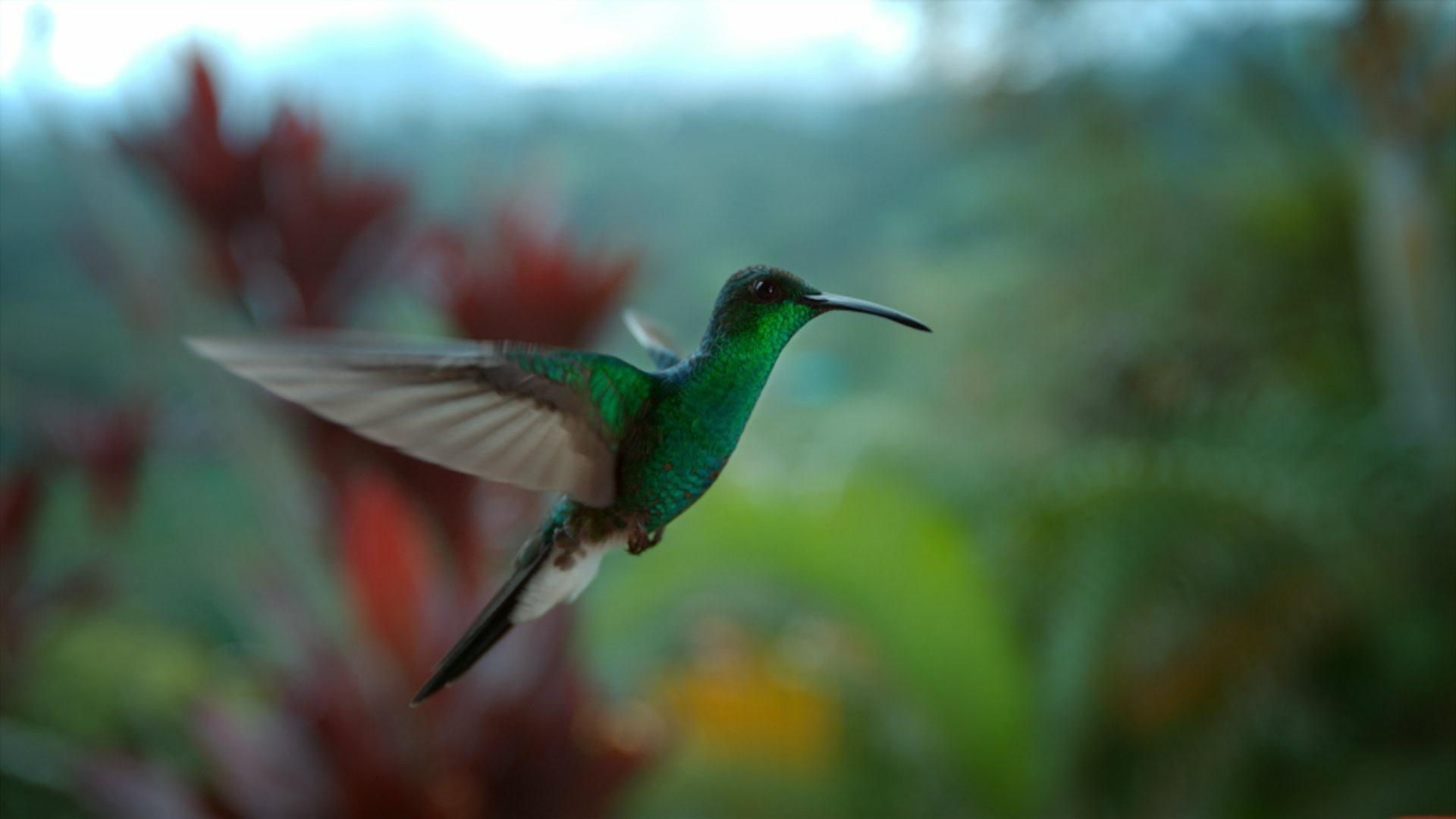 03fb787b9c Super Hummingbirds | MetroFocus | PBS