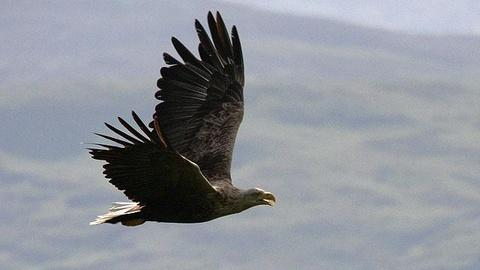 Nature: Eagles of Mull