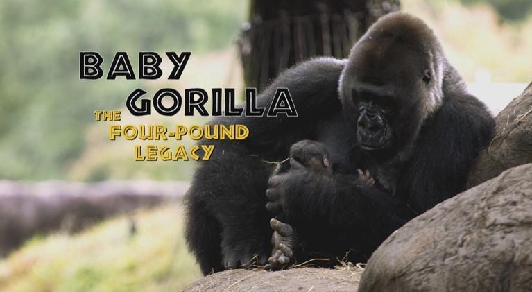 Baby Gorilla: The Four-Pound Legacy: Baby Gorilla: The Four-Pound Legacy