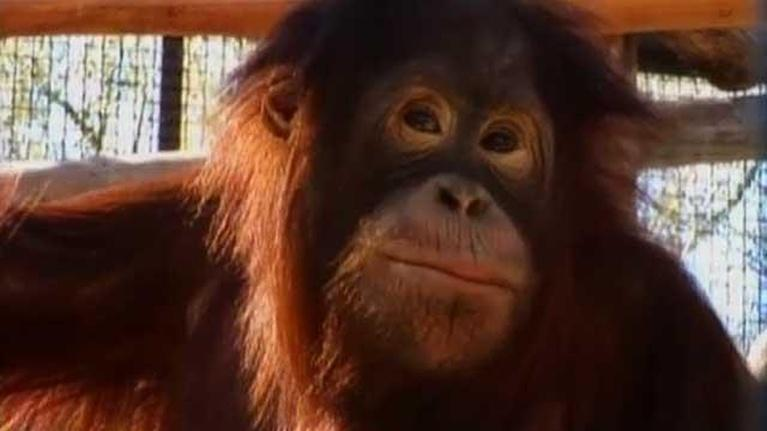 Wild Florida: Saving the Great Apes