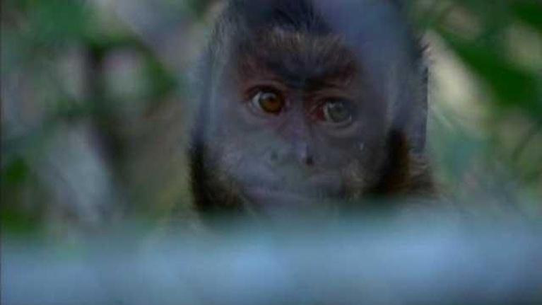 Wild Florida: Monkey Busines