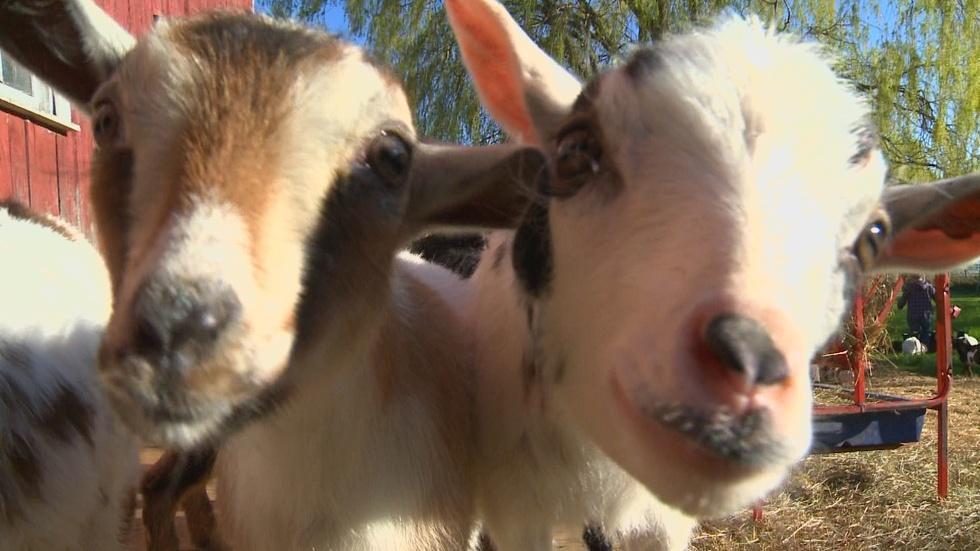 Nigerian Dwarf Goats image