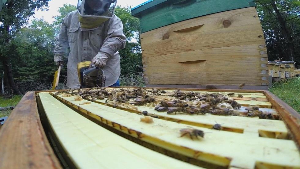 Russian Honeybees image