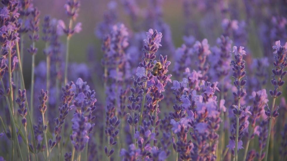 Lavender Fields Forever image