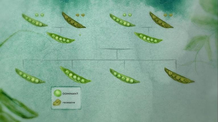 The Gene: Dominant vs Recessive Traits
