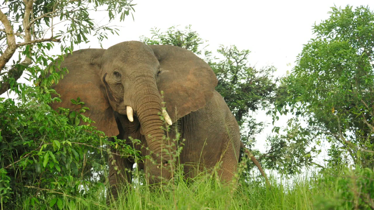 elephants in danger Tens of thousands of african elephants are killed annually, the continent's worst  wildlife crisis in decades.