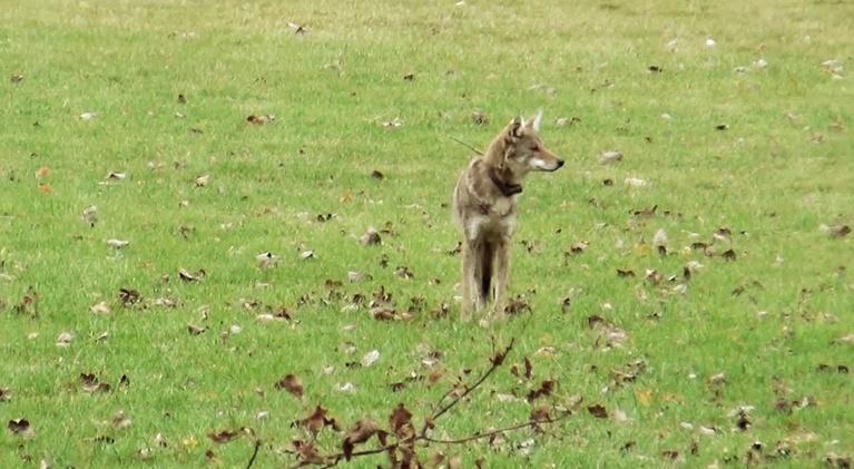 Urban Nature: A Coyote Comeback