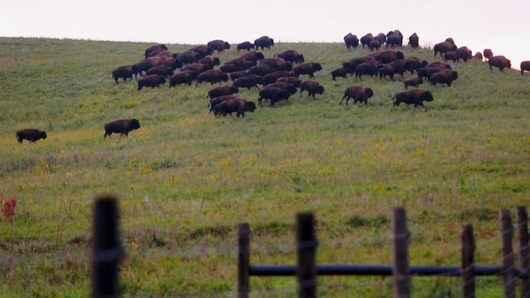 Jay's Chicago: Bison are Back