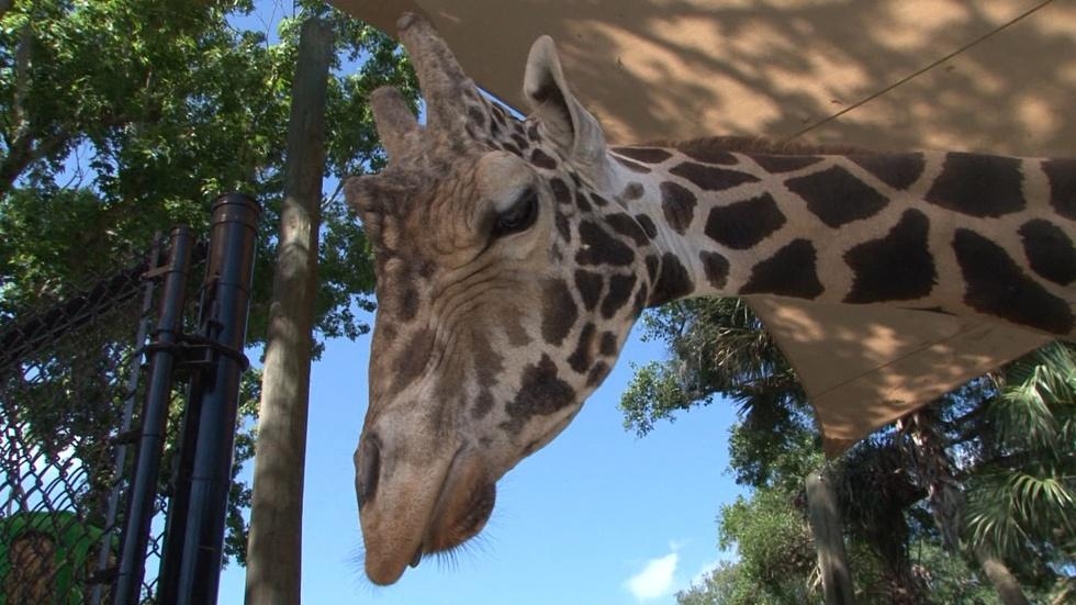 ONE: Giraffes, Springs and American Pie image