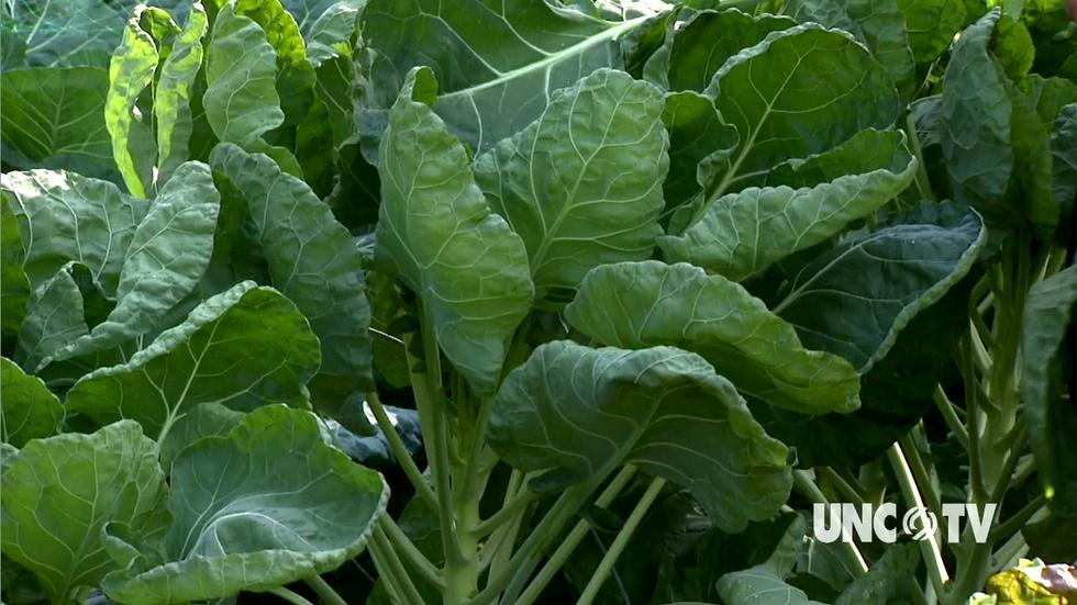 Growing Brussels Sprouts in the Fall image