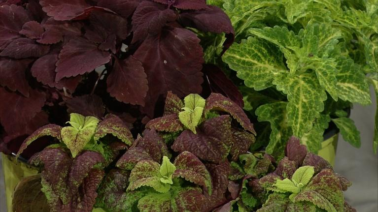 Almanac Gardener: Having Fun with Coleus