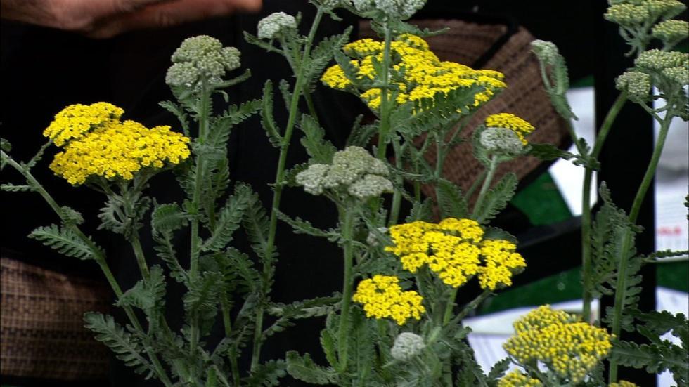 Growing Yarrow Plants image
