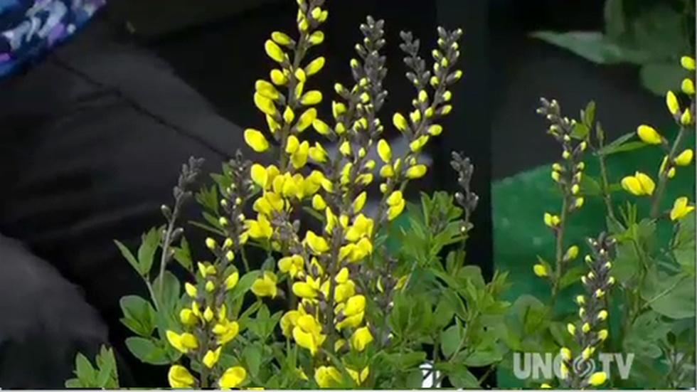 Growing Baptisia Plants image