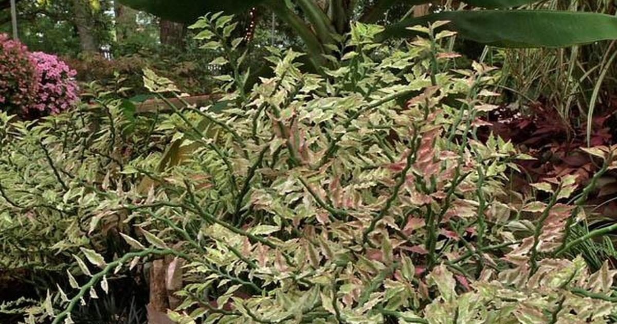 plant of the week variegated devil s backbone in the garden pbs